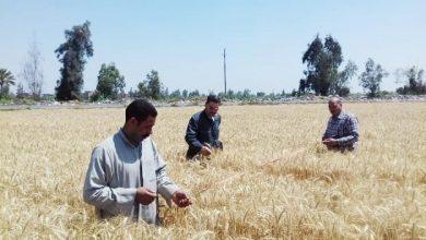 منيا القمح