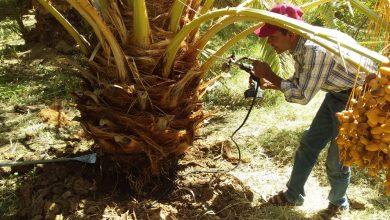 Photo of «الزراعة» تصدر تقرير عن مكافحة سوسة النخيل في الواحات البحرية والوادي الجديد
